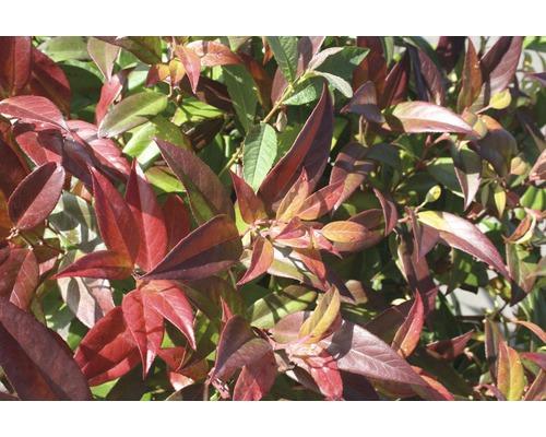 Traubenheide Leucothoe walteri ''Scarletta'' H 30-40 cm Co 5 L