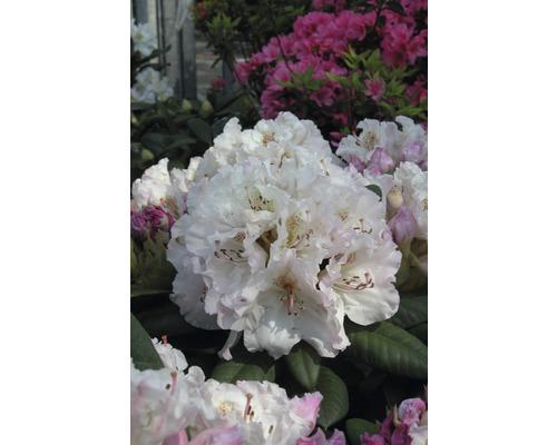 Rhododendron Cultivars 30-40cm Co 6L assorti