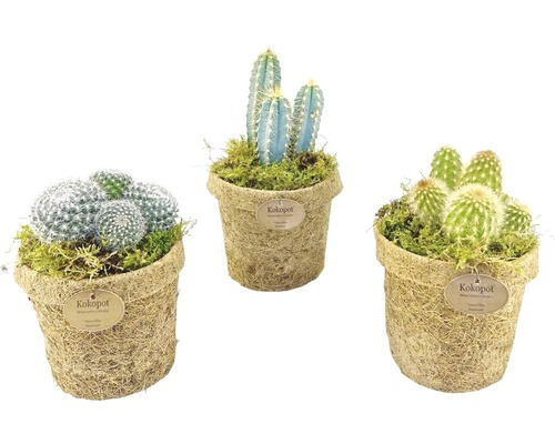 Kokodama FloraSelf cactus pot de 13cm assorti