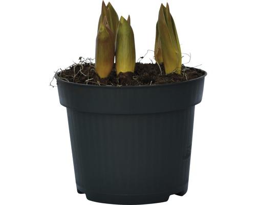 Tulipe FloraSelf Tulipa x Hybride ''Top Lips'' pot Ø12cm