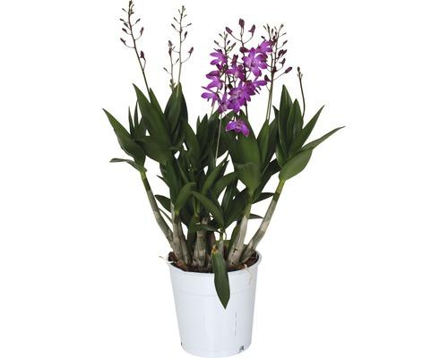 Orchidée Dendrobium x Hybride ''Berry Oda'' pot de 12cm