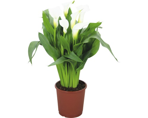 Arum FloraSelf Zantedeschia ''Crystal Blush'' H 40-45 cm pot Ø 13 cm blanc