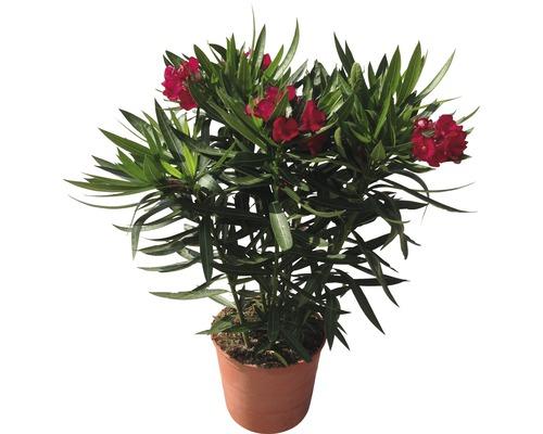 Laurier-rose FloraSelf Nerium oleander H20-30cm pot Ø17cm