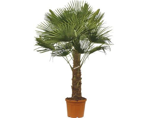 Palmier chanvre FloraSelf Trachycarpus fortunei H 140-160 cm pot Ø 50 cm