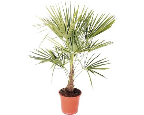 Palmier Trachycarpus fortunei H 60-80cm pot Ø 25cm
