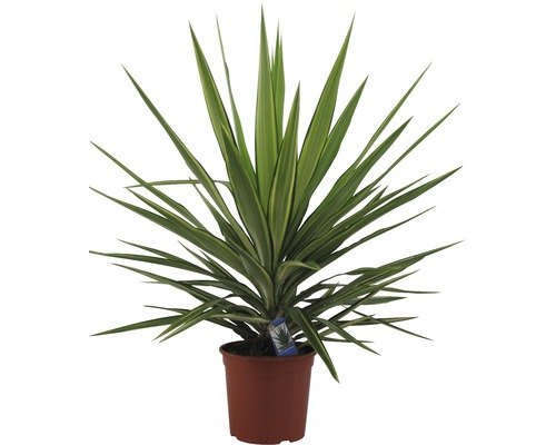 Yucca filamenteux Yucca elephantipes H 35-45 cm pot Ø 20 cm