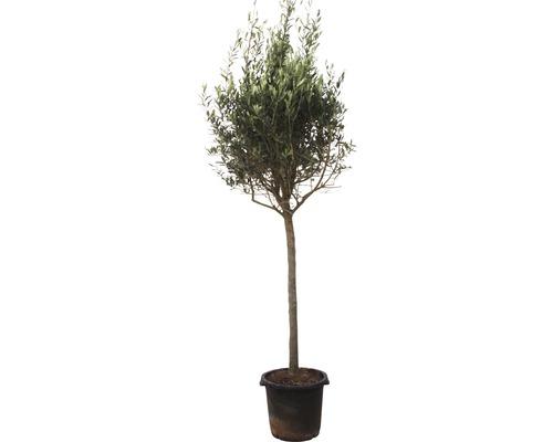 Olivier Olea europea arbuste 160-180cm pot de 35cm