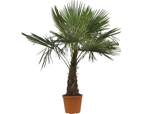 Palmier chanvre FloraSelf Trachycarpus fortunei StH 40-50 cm H 120-130 cm pot Ø 40 cm