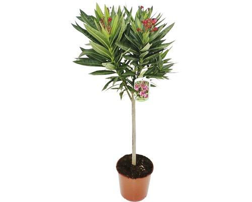 Laurier-rose arbuste FloraSelf Nerium oleander H60-80cm pot Ø20cm