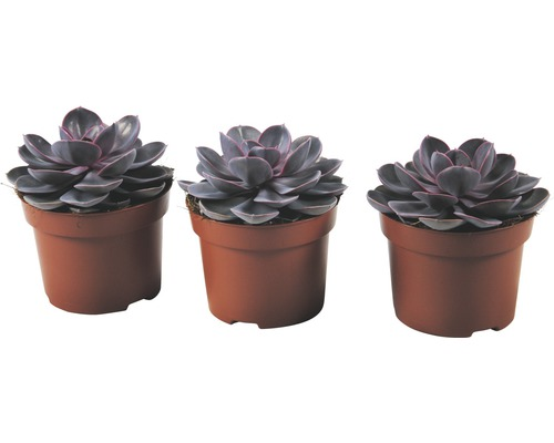 Echeveria x Hybride ''Purple Pearl'' pot de 12 cm