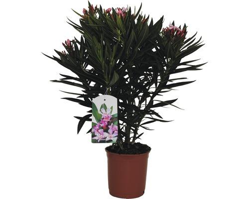 Laurier-rose Nerium oleander H20-30cm pot Ø17cm