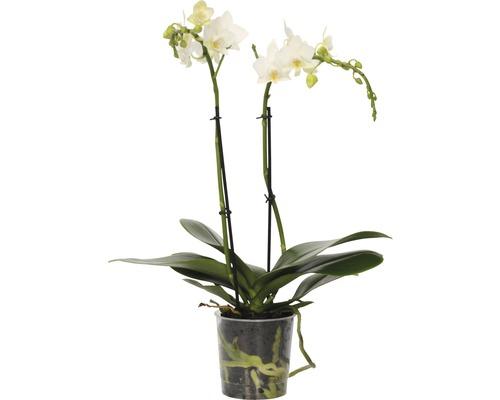 Orchidée papillon FloraSelf Phalaenopsis-Cultivars multiflora h 30-40 cm pot Ø 9 cm blanc