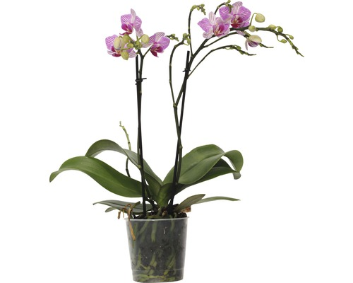Orchidée papillon FloraSelf Phalaenopsis-Cultivars multiflora h 30-40 cm pot Ø 9 cm rose