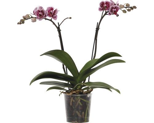 Orchidée papillon FloraSelf Phalaenopsis-Cultivars multiflora h 30-40 cm pot Ø 9 cm bicolore