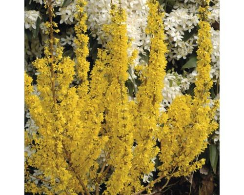 Forsythia FloraSelf Forsythia intermedia ''Ruée vers l''or'' H50-60cm Co 4 L