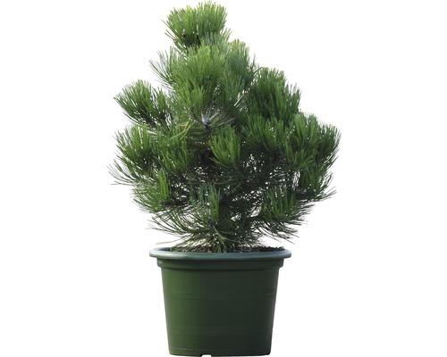 Pin de Bosnie Botanico Pinus leucodermis ''Compact Gem'' H 40-50 cm Co 10 L