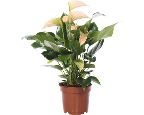 Langue de feu FloraSelf Anthurium x Hybride ''Joli Pink'' H 25-35 cm pot Ø 12 cm