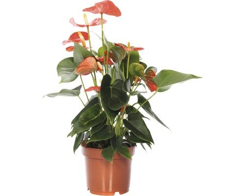 Langue de feu FloraSelf Anthurium x Hybride ''Sierra Red'' H 25-35 cm pot Ø 12 cm