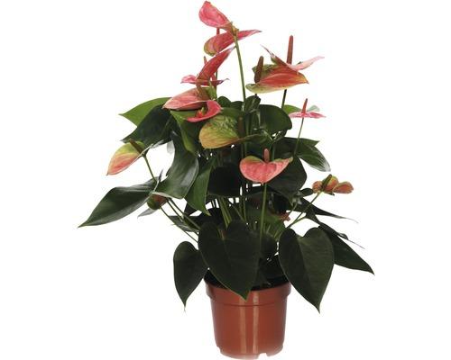 Langue de feu FloraSelf Anthurium x Hybride ''Sweetdream'' H 30-40 cm pot Ø 12 cm