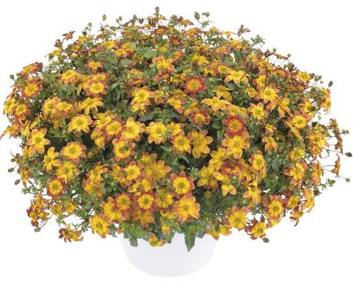 Bidens FloraSelf Bidens ferulifolia ''Blazing Fire'' pot de 12