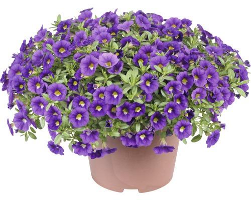 Calibrachoa FloraSelf Calibrachoa x Hybride ''Colibri Olum'' pot de 12