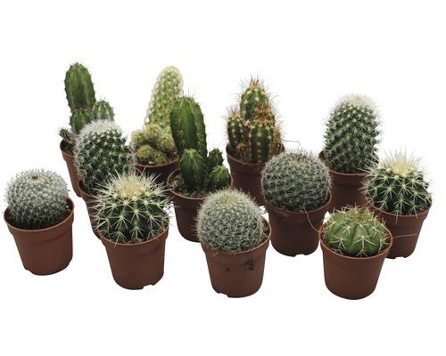 Cactus FloraSelf cactus h 6,5-8,5 cm pot de 6,5cm de Ø assorti