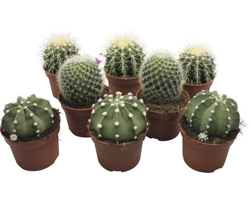 Kaktus FloraSelf Echinocactus H10,5-11,5cm pot Ø10,5cm assorti