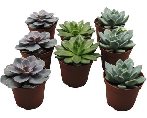 Echeveria FloraSelf echeveria h 8,5-9,5 pot de 8,5cm de Ø assorti