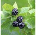 Mûrier sans épines Rubus fruticosus 'Asterina' H40-60cm Co 2l