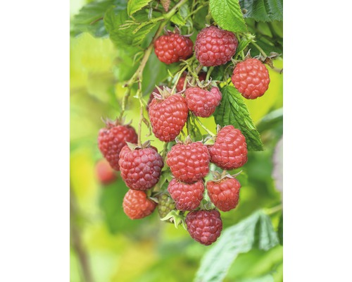 Framboisier FloraSelf Rubus idaeus ''Willamette'' H40-60cm Co 2l