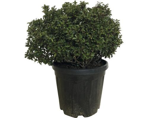 Houx FloraSelf Ilex meserveae ''Little Rascal'' H40-45 cm Co 20 L