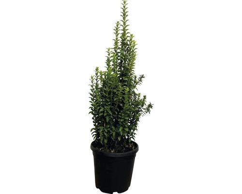 Säulen-Spindelstrauch FloraSelf Euonymus japonicus ''Benkomasaki'' H 60-80 cm Co 10 L