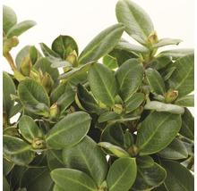 Buchsbaum-Kugel FloraSelf Buxus sempervirens H 35-40 cm Co 10 L-thumb-1