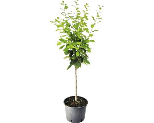 Prunier Reine-Claude arbuste nain Prunus domestica ''Golden Crimson'' H100-150cm Co 7,5l