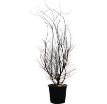 Érable palmé Acer palmatum ''Fireglow'' H125-150 cm Co 35 L-thumb-1