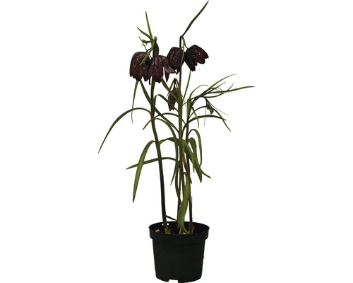 Fritillaire méléagre FloraSelf Fritillaria meleagris pot Ø9cm