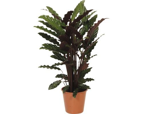 Calathée FloraSelf Calathea ornata ''Wavestar'' H80-90cm pot de Ø19cm