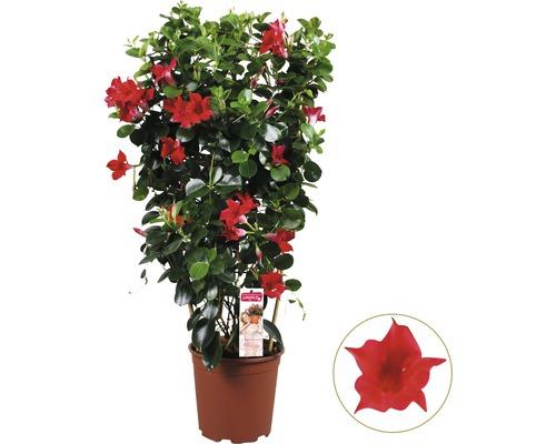 Mandevilla FloraSelf Dipladenia sundevilla Spalier 90 cm pot de 21 cm rouge