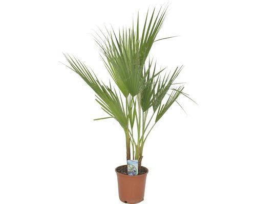 Washingtonia Washingtonia robusta T21 80 cm