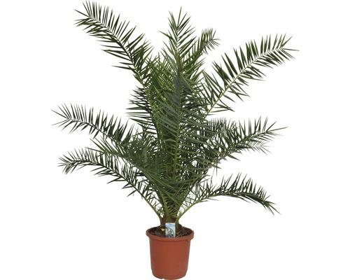 Palmier des Canaries FloraSelf Phoenix canariensis H 120-140 cm Co 12 l