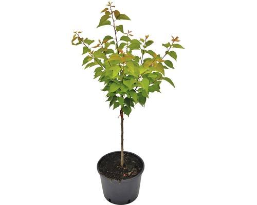Abricotier nain Prunus armeniaca ''Orange Beauty'' H40cm Co 7,5l