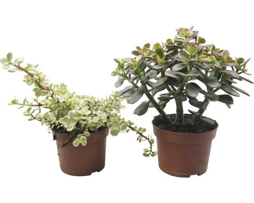 Crassula-Cultivars FloraSelf Crassula x Hybride H13-17 cm pot Ø 13 cm sélection aléatoire de variétés