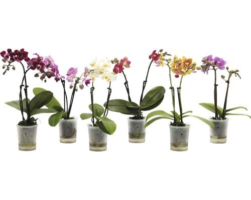 Orchidée papillon FloraSelf Phalaenopsis multiflora Mini h 15-25 cm pot Ø 6 cm diff. couleurs