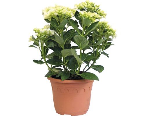 Hortensia Hydrangea macrophylla ''Hovaria ® Holibel'' (S) H30-40cm Co 4,6l