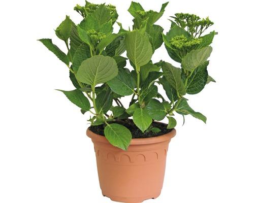 Hortensia Hydrangea macrophylla ''Hovaria ® Elleair Anniversary'' (S) H30-40cm Co 4,6l