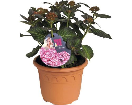 Hortensia Hydrangea macrophylla ''You and Me ® Miss Saori ''(S) H30-40cm Co 4,6l