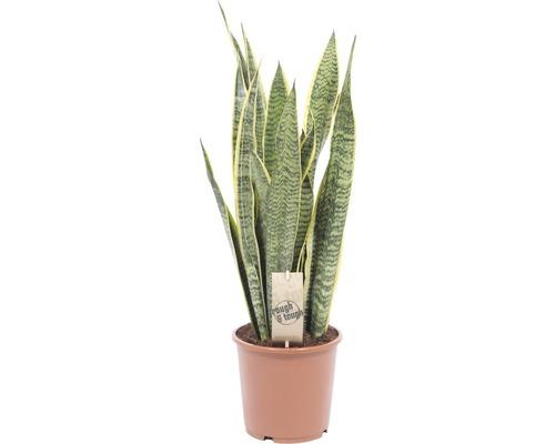 Bogenhanf FloraSelf Sansevieria trifasciata 'Laurentii' H 50-60 cm Ø 17 cm Topf