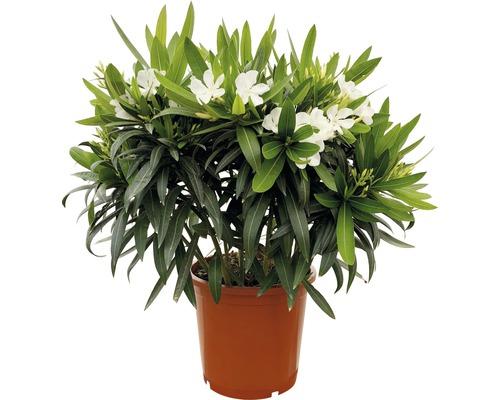 Laurier-rose FloraSelf Nerum oleander H55-65cm pot Ø25cm