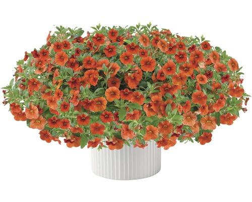 Calibrachoa FloraSelf Calibrachoa Hybride ''Colibri Orange'' pot Ø12cm