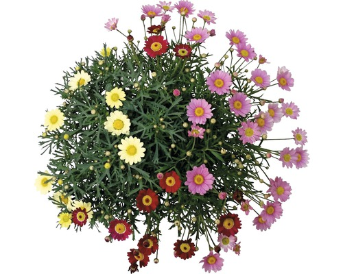 Chrysanthème frutescent Chrysanthemum frutescens pot Ø 18 cm